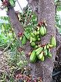 Starr-130221-1597-Averrhoa bilimbi-fruit and flowers-Waihee-Maui (24579290403).jpg