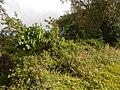 Starr-140222-0328-Banisteriopsis caapi-habit-Haiku-Maui (25147305961).jpg