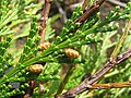 Starr-141106-5338-Calocedrus decurrens-branch with male cones-8500 Ft Grove HNP-Maui (25130427492).jpg