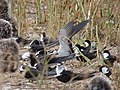 Starr-150403-0266-Brassica juncea-Sooty Terns settling down-Southeast Eastern Island-Midway Atoll (25182886391).jpg