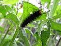 Starr-160122-3522-Crassocephalum crepidioides-Secusio extensa larva feeding on leaves-Hawea Pl Olinda-Maui (26947144695).jpg