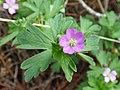 Starr-170304-0374-Geranium homeanum-flower leaves-Lower Waiohuli Trail Polipoli-Maui (33000009900).jpg