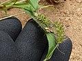 Starr-170614-0967-Setaria verticillata-seedheads with barbs-Community Garden Sand Island-Midway Atoll (36218882741).jpg