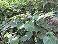 Starr-170913-0170-Hibiscus furcellatus-flowering habit-CTAHR Urban Garden Center Pearl City-Oahu - Flickr - Starr Environmental.jpg