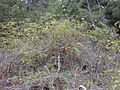 Starr 021126-0070 Rubus niveus f. b.jpg