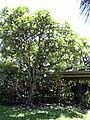 Starr 030702-0076 Plumeria obtusa.jpg