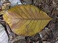 Starr 030807-0065 Artocarpus odoratissimus.jpg