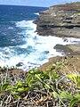 Starr 040711-0039 Jacquemontia ovalifolia subsp. sandwicensis.jpg