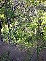 Starr 041219-1589 Nestegis sandwicensis.jpg