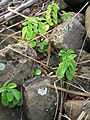 Starr 050914-4438 Peperomia blanda.jpg