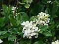 Starr 061105-1389 Murraya paniculata.jpg