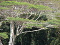 Starr 070215-4480 Falcataria moluccana.jpg
