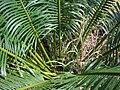 Starr 070306-5231 Cycas circinalis.jpg