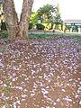 Starr 070519-7137 Jacaranda mimosifolia.jpg
