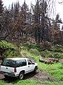 Starr 070908-9187 Pinus sp..jpg