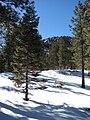 Starr 071225-0651 Pinus ponderosa.jpg