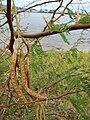 Starr 080530-4649 Prosopis juliflora.jpg