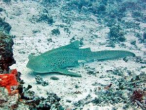 Zebra shark - Image: Stegostoma fasciatum