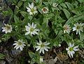 Stellaria ruscifolia.jpg