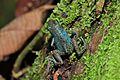 Strawberry poison-dart frog (Oophaga pumilio or Dendrobates pumilio) (9434738329).jpg
