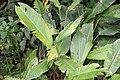 Strelitzia reginae 7zz.jpg