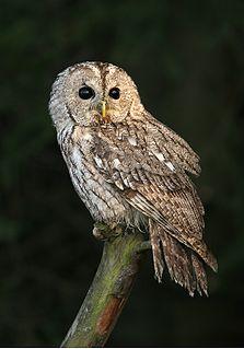 Tawny owl Species of bird