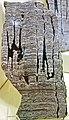 Stromatolitic limestone (Chencha Formation, upper Neoproterozoic, 580 Ma; Patom Upland, Siberia, Russia) 1 (17184192088).jpg