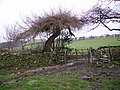 Stunted Larch - geograph.org.uk - 301858.jpg