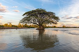Submerged Albizia Saman in the Mekong at sunset.jpg