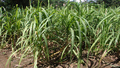 Sugar cane in Bolivia.png