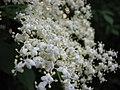 Summer in Botanic Graden - Cluj-Napoca (2564782205).jpg