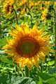 Sunflower (2684426319).jpg