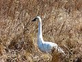 Swan at Mattamuskeet National Wildlife Refuge (12331089305).jpg