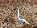 Swan at Mattamuskeet National Wildlife Refuge (12331089305).jpg