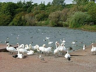 Cosmeston Lakes Country Park - Swans at Cosmeston