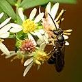 Sweat Bee (31093775851).jpg
