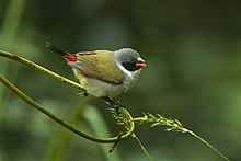 Swee Waxbill - Natal - South Africa S4E7543 (22568979507).jpg