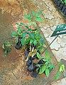 Swietenia macrophylla.jpg