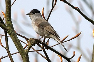 Eurasian blackcap Bird in the Old World warbler family from Eurasia and Africa