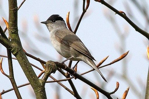 Sylvia atricapilla -Lullington Heath, East Sussex, England -male-8