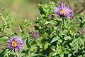 Symphyotrichum novae-angliae flowering and budding.jpg