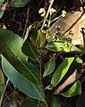 Syzygium caryophyllatum 10.JPG