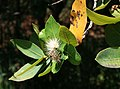Syzygium cordatum 1.jpg