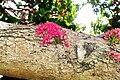 Syzygium moorei - flowers close up.jpg