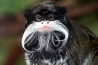 Emperor tamarin species of mammal