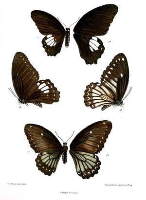 Papilio castor - Image: Tamera castor 496