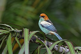 Tangara peruviana por Birdy Flying (01).jpg