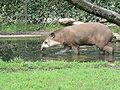 Tapir zoo.JPG