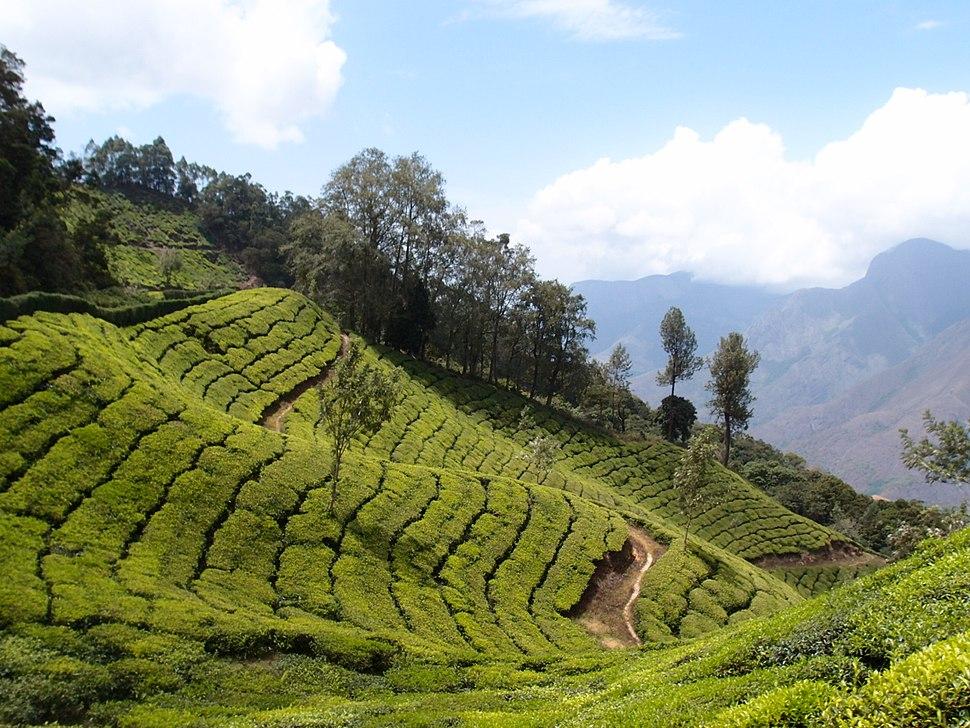 Tea plantations around Munnar
