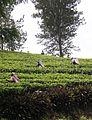 Teeplantage auf Sri Lanka.JPG